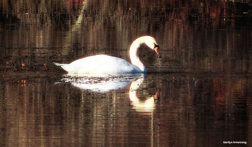 180-golden-lackey-dam-swan_021