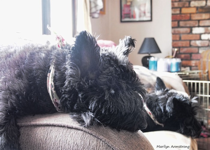 The best picture taken by me today of my napping Scotties