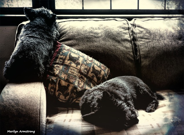Yellow late afternoon light on two lazy little dogs