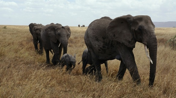 elephants-in-the-serengeti