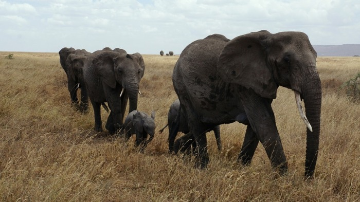 elephants-in-the-serengeti