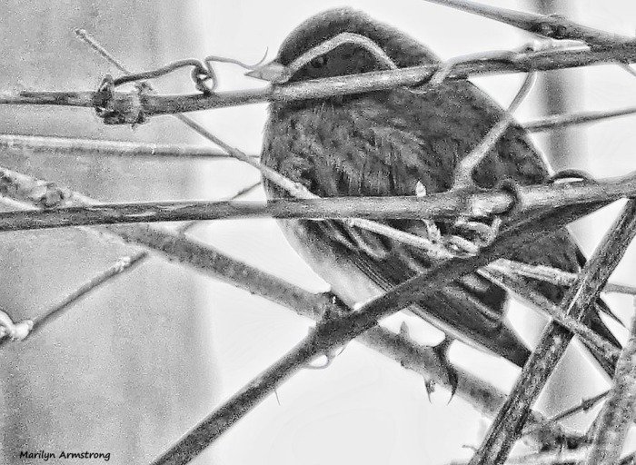 180-bw-junco-birds-2-022117_-008