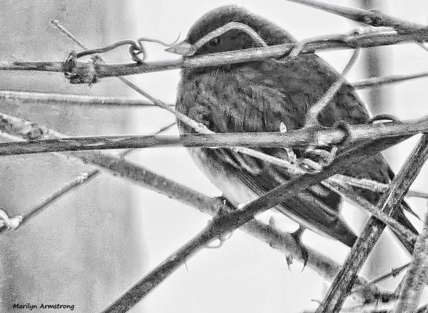 180-bw-junco-birds-2-022117_-008