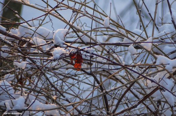 A flash of red wings and a grab a shot of the fresh snow and a red wing in the forsythia hedge. So many different textures ... and so early in the morning!