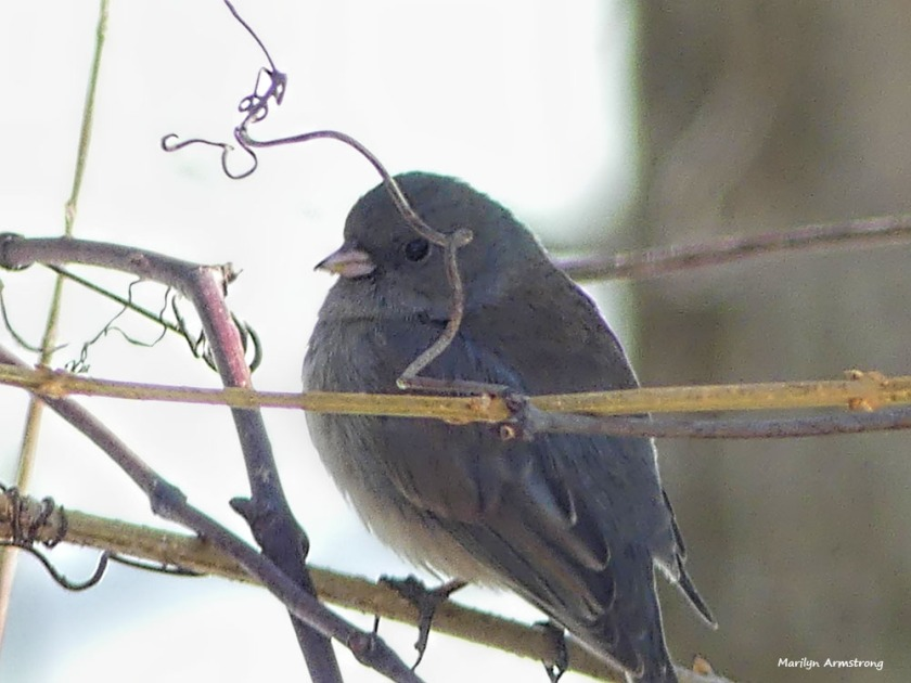 Pretty sure it's a junco. Almost sure.
