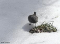 180-junco-ground-birds-022117_-017