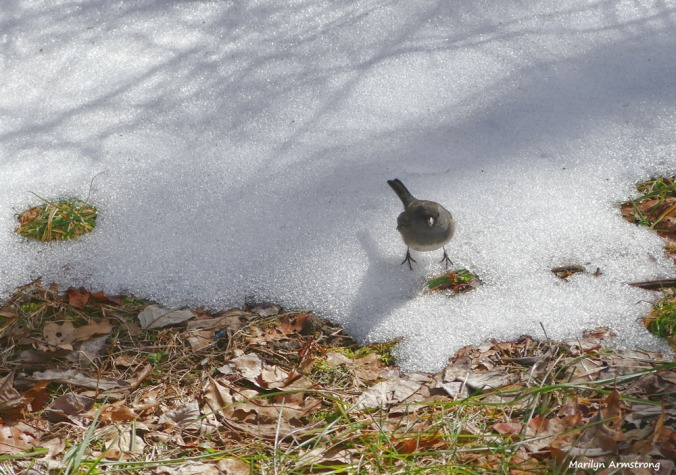 180-junco-ground-birds-022117_-018