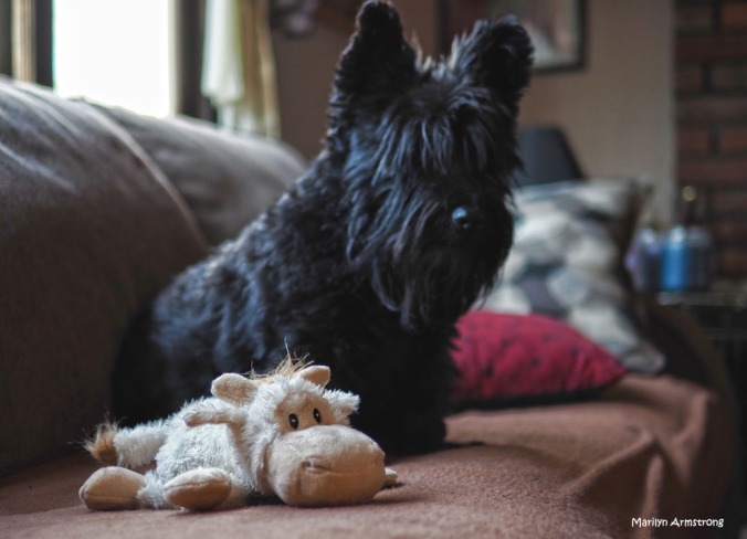 300-bonnie-new-toy-dogs-270217_013