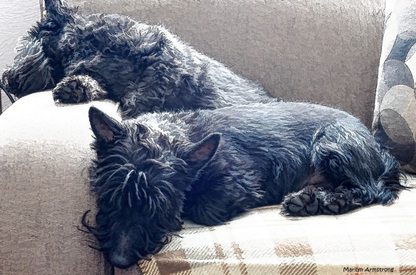 Starving Scotties suffering the bitter cold of winter