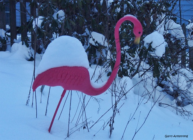 Not a robin, but Fred the Lawn Flamingo. Leaning forward but otherwise unaffected by the cruel weather.