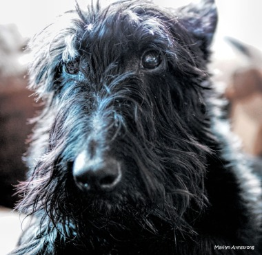 300-gibbs-scotties-260217_006
