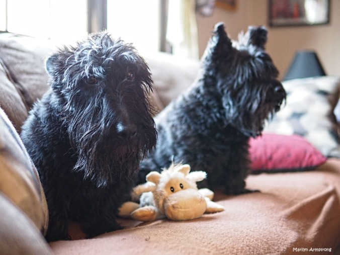 300-new-toy-dogs-270217_008