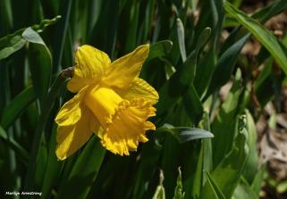 180-Daffodils-2-041617_048