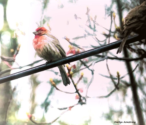 Red Finch - the new bird