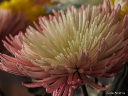 300-chrysanthemums-more-041917_001