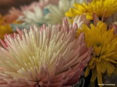 300-chrysanthemums-more-041917_014