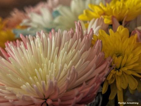 300-chrysanthemums-more-041917_014