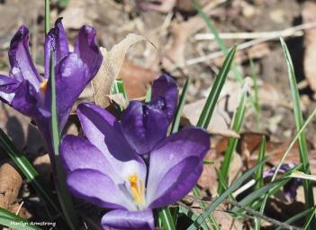 300-crocus-gardening-040917_020