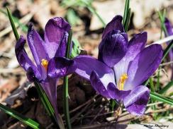 300-crocus-gardening-040917_02