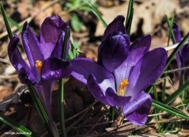 Just ask the crocus!