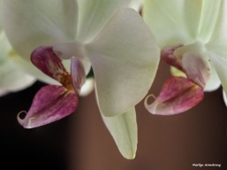 300-orchids-two-041917_054