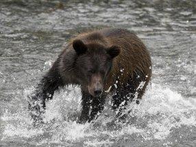 bear_fishing