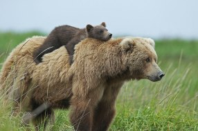 mother-bear-cubs-animal-parenting