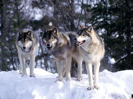 wolf_wolves_pack3