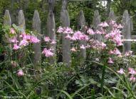 180-Columbine-Late-May-Garden-052417_004