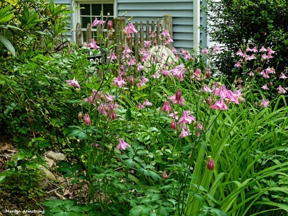 180-Columbine-Late-May-Garden-052417_057