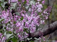 180-Lilacs-May-Garden-1_050317_022
