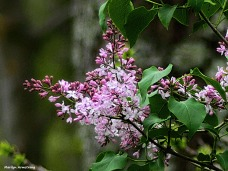 180-Lilacs-May-Garden-1_050317_026