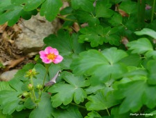 180-Wild-Strawberry-Late-May-Garden-052417_017