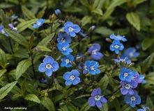 300-blue-flowers-may-garden-omd_050317_079