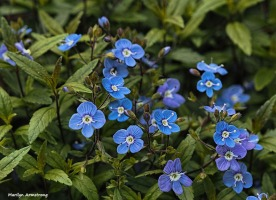 Wild blue primroses in my garden