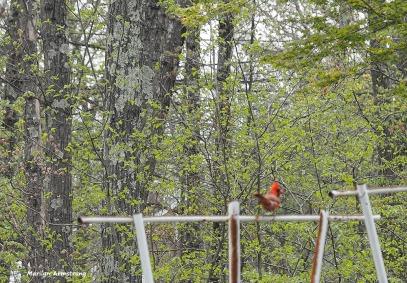 300-cardinal-early-may-garden-omd_050317_126
