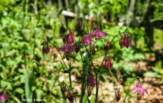 300-columbine-mid-may-051817_001