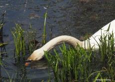 300-eating-swans-mar-050417_002