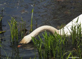 300-eating-swans-mar-050417_002