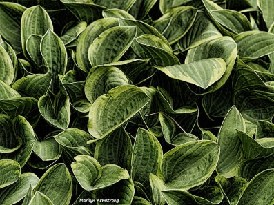300-hosta-may-early-garden-omd_050317_100