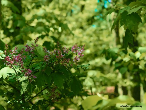 300-lilacs-woods-mid-may-051817_013