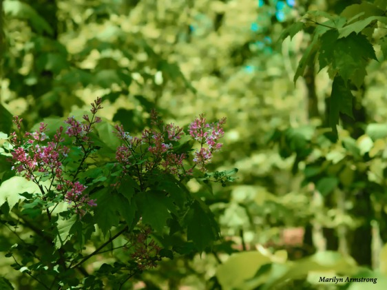 300-lilacs-woods-mid-may-051817_013