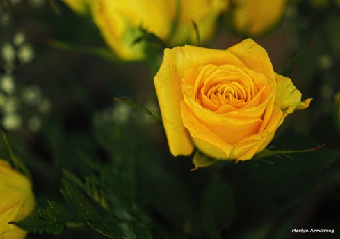 300-one-yellow-rose-051417_001