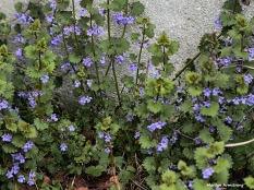 300-purple-flowers-may-garden-omd_050317_105