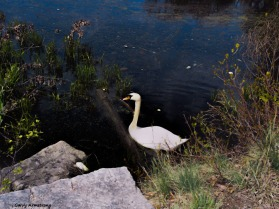 300-steps-swans-gar-050417_070