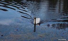 300-swans-gar-050417_040