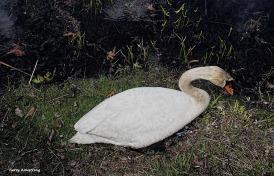 300-swans-gar-050417_126