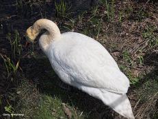 300-swans-gar-050417_134