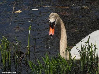 300-swans-mar-050417_003