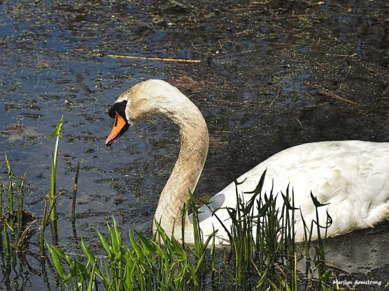 300-swans-mar-050417_006